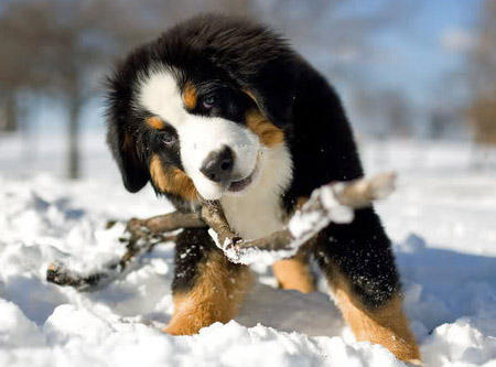 Riggs the Bernese Mountain Dog Pictures 418594