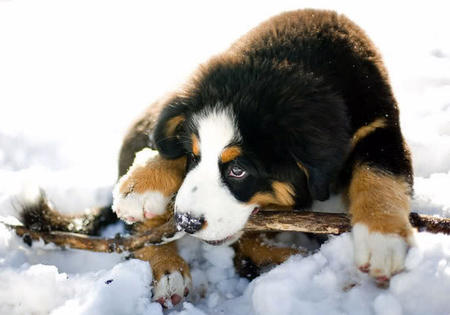 Riggs the Bernese Mountain Dog Pictures 418595