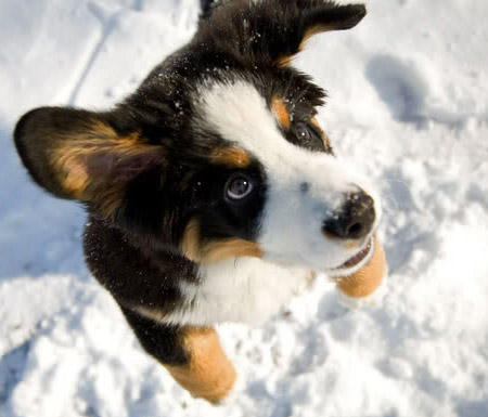 Riggs the Bernese Mountain Dog Pictures 418597