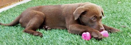 Rigley the Labrador Retriever Pictures 571157