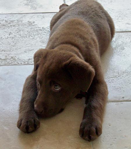 Rigley the Labrador Retriever Pictures 571160