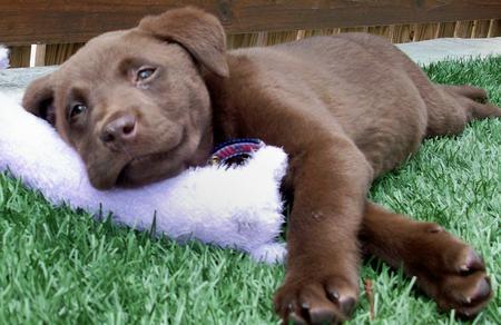 Rigley the Labrador Retriever Pictures 571161