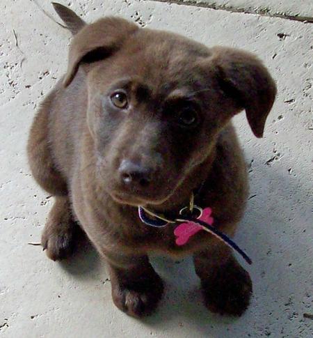 Rigley the Labrador Retriever Pictures 571156