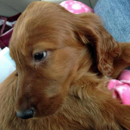 Riley Mae the Irish Setter Pictures 1037954