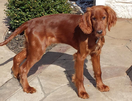 Riley Mae the Irish Setter Pictures 1037955