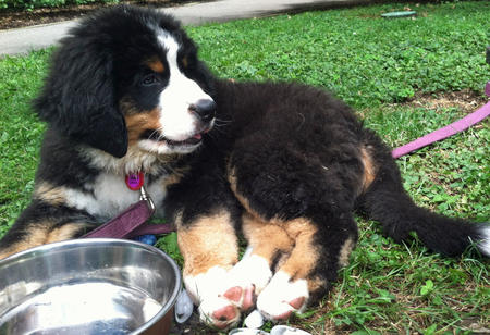 Riley the Bernese Mountain Dog Pictures 918155