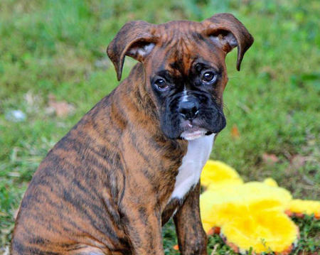 Riley the Boxer Pictures 1028096