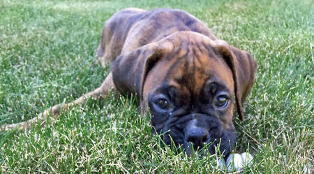 Riley the Boxer Pictures 1028097
