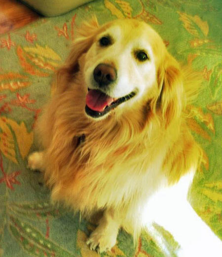 Riley the Golden Retriever Pictures 993984