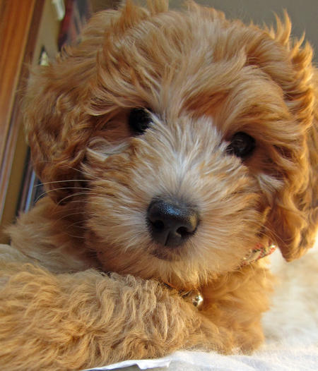 Riley the Goldendoodle Pictures 857224