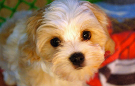 Riley the Havanese Mix Pictures 1028726