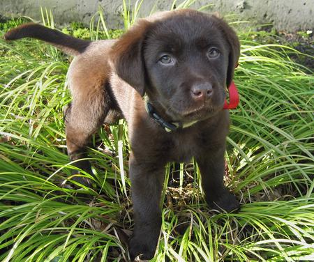 Riley the Labrador Retriever Pictures 550345