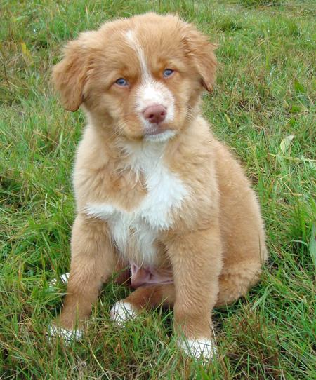 Riley the Nova Scotia Duck Tolling Retriever Pictures 1048234
