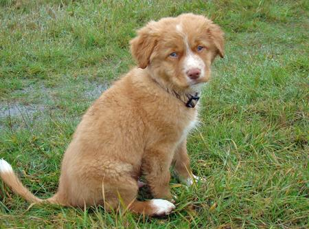 Riley the Nova Scotia Duck Tolling Retriever Pictures 1048238