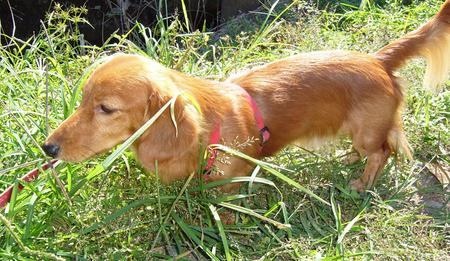 Ringo the Dachshund Pictures 1040320