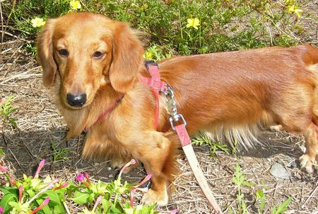 Ringo the Dachshund Pictures 1040322