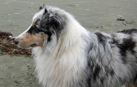 Ringo the Shetland Sheepdog Pictures 604430