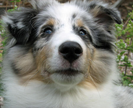 Ringo the Shetland Sheepdog Pictures 604432