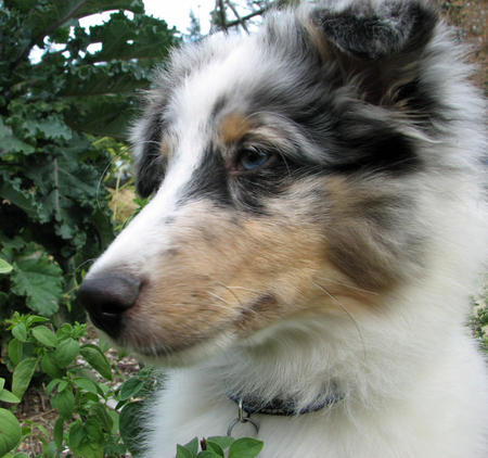 Ringo the Shetland Sheepdog Pictures 604433