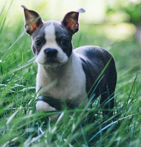 Rio the Boston Terrier Pictures 929874