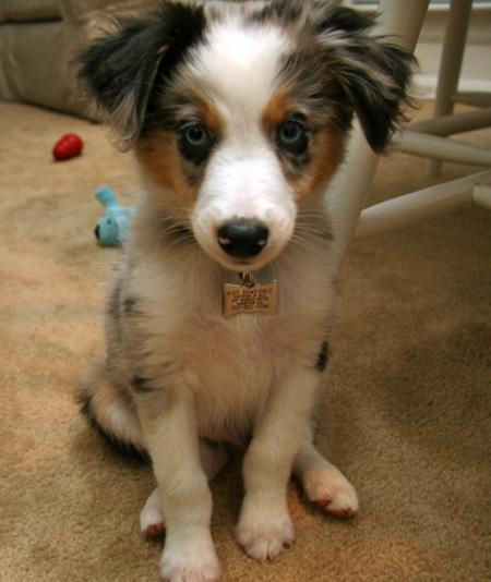 Riot the Australian Shepherd Pictures 782401