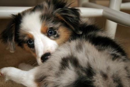 Riot the Australian Shepherd Pictures 782402
