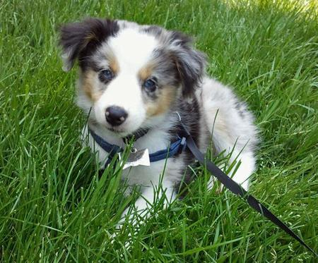Riot the Australian Shepherd Pictures 782398