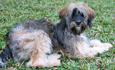 Ripley the Tibetan Terrier Pictures 812868