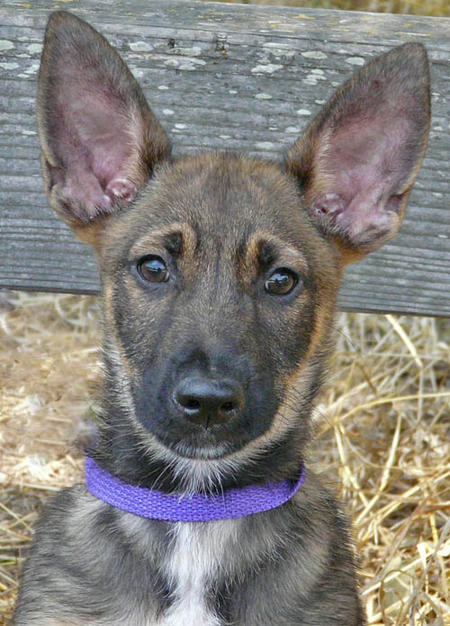 Ritz the Adoptable Shepherd Mix Pictures 805002