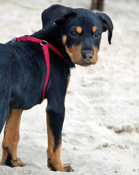 Robbie the Rottweiler Mix Pictures 798983