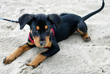 Robbie the Rottweiler Mix Pictures 798986