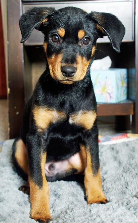 Robbie the Rottweiler Mix Pictures 798981