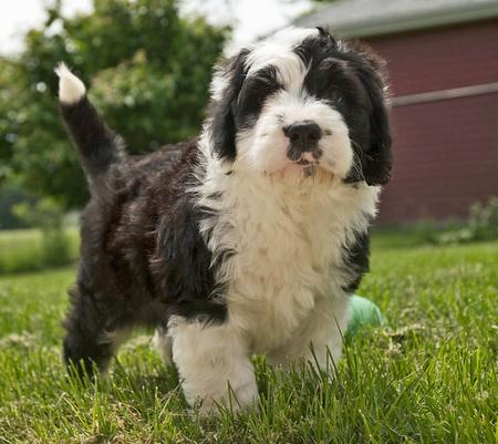 Rocco the Sheepdog Mix Pictures 979002