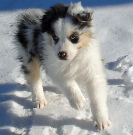 Rocky the Australian Shepherd Pictures 735678