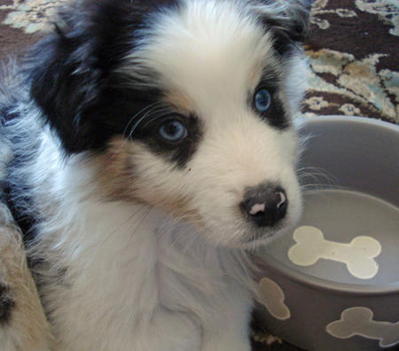 Rocky the Australian Shepherd Pictures 735679