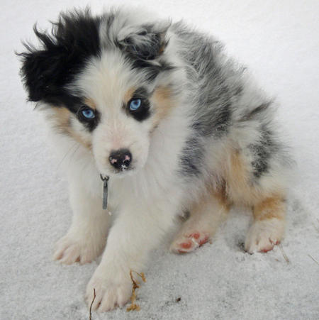 Rocky the Australian Shepherd Pictures 735682