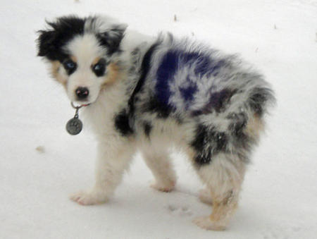 Rocky the Australian Shepherd Pictures 735677