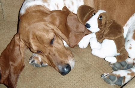 Rocky the Basset Hound Pictures 1051759