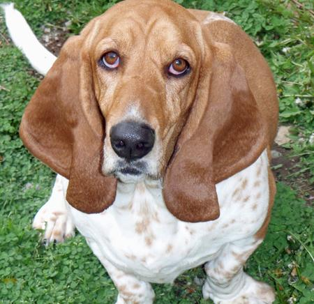 Rocky the Basset Hound Pictures 1051761