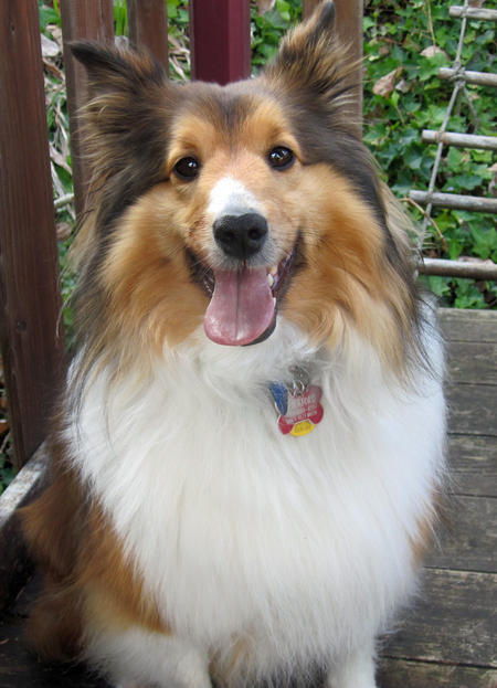 Rocky the Shetland Sheepdog Pictures 1040356