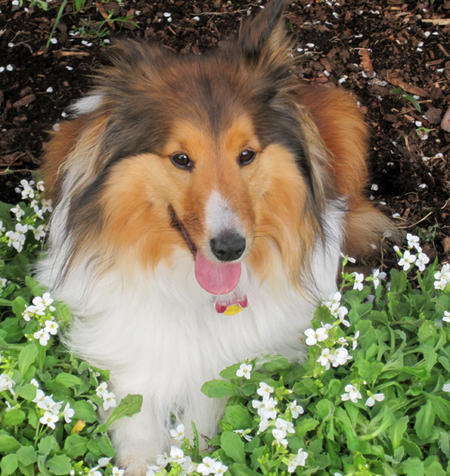 Rocky the Shetland Sheepdog Pictures 1040357