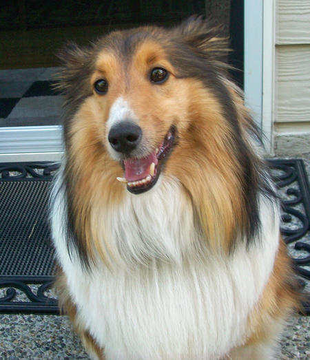 Rocky the Shetland Sheepdog Pictures 1040358