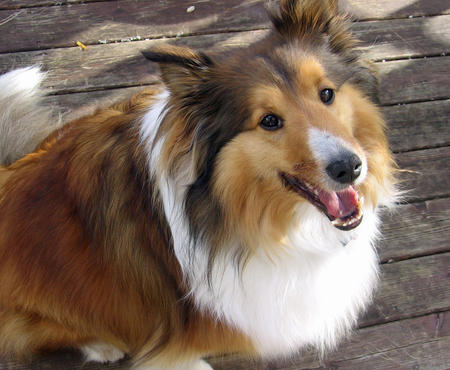 Rocky the Shetland Sheepdog Pictures 1040359