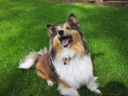 Rocky the Shetland Sheepdog Pictures 1040361