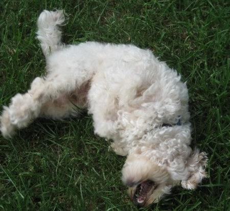 Roland the Poodle Mix Pictures 793953