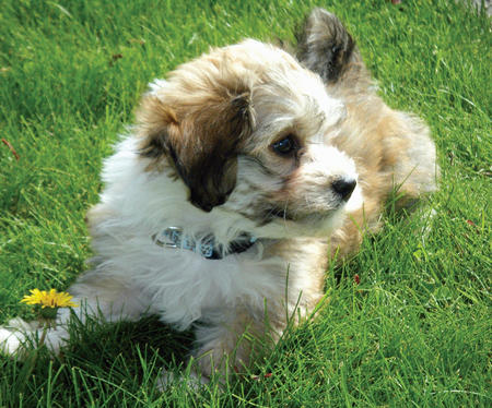 Rollie the Havanese Pictures 785500