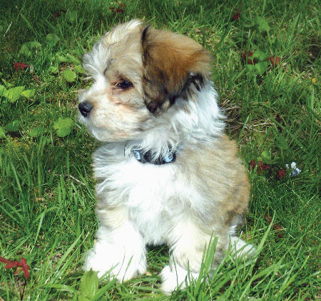 Rollie the Havanese Pictures 785501