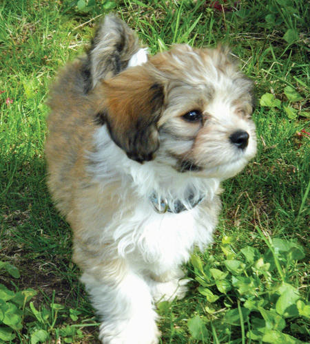 Rollie the Havanese Pictures 785502
