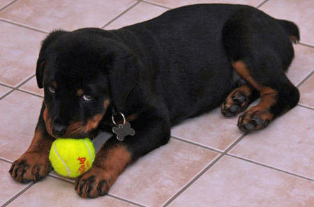 Rommel the Rottweiler Pictures 510516