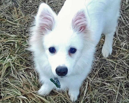 Ronan the American Eskimo Pictures 921849